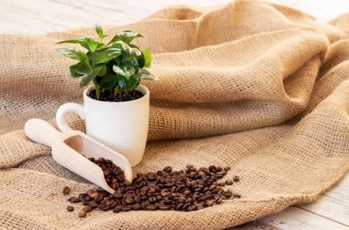 Uprawa kawy w doniczce. Czy da się wyhodować kawowca w domu?